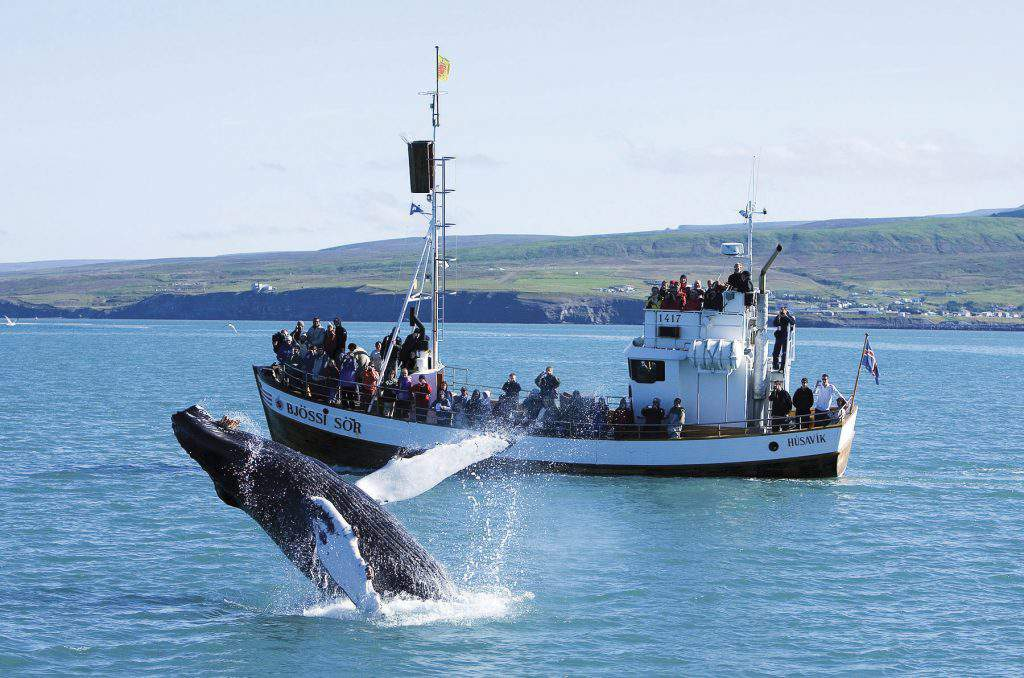 iceland whale watching tour, iceland whale watching best season